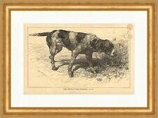 Holda, stichelhaarige deutsche Vorstehhündin Hunde Rassen Tiere E 3943 Gerahmt