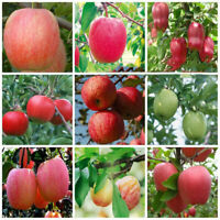 Plant Fascinating Garden Bonsai Fruit Seeds Apple Yard Living Outdoor Tree