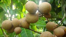 Longan Fruit Tree (Biew Kiew) Tropical Fruit Tree