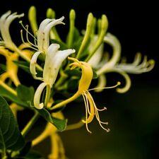 100 Honeysuckle Seeds Fragrant Flower Herb Plant Home Garden Bonsai Decoration