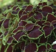 Coleus - Chocolate Mint - 10 Seeds