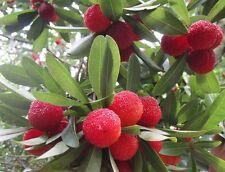 Myrica Morella Rubra Seeds Yangmei Chinese BayBerry waxberry Rare yumberry