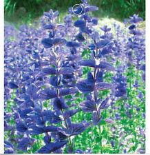 FD1543 1 Pack 50 Seeds Pastoral Blue Sage Seed Salvia Farinacea Garden Flower