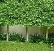 6 x FICUS microcarpa hillii tall native fast dense hedging plants in 40mm pots