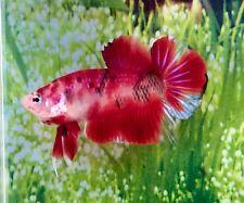Thai Import KOI Male HMPK Halfmoon Plakat Betta Live Fish *READ ITEM DESCRIPTION