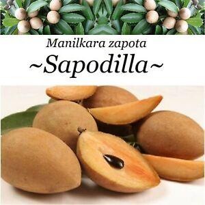 ~SAPODILLA~ Manilkara zapota cv ALANO Chico Sapote Zapote med 1-2+ft Potd Plant