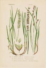 Wimper-Perlgras ( Melica ciliata ) THOME Litho um 1900