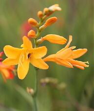 Crocosmia Lambrook Gold flowering garden plant ex 2 litre pot