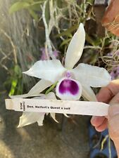 🌿Dendrobiun Neifers Quest - Great Orchid Plant Hybrid Rarely Seen Must Have!