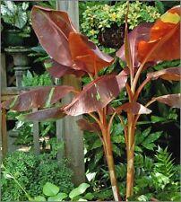 Musa - 'Siam Ruby' - Banana Tree
