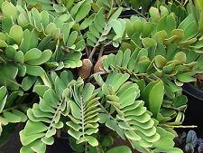 Zamia furfuracea CARDBOARD CYCAD Seeds!