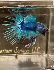 New listing Live Betta Fish Crown Tail Blue Sky ( Video Available) 📽