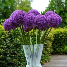 100Pcs Allium Giganteum Purple Flowers Seeds Globemaster Gladiator Gigant Onion