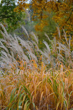 Fluffy Autumn Grass 8 x 10 Photo Print