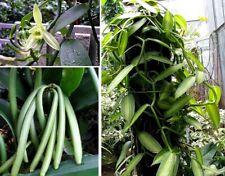 Jetzt pflanzen! Echte Vanille schnellwüchsige Kletterpflanze für den Garten Deko