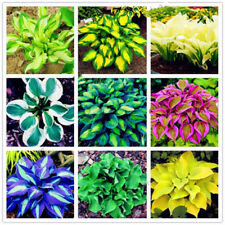 100× HOSTA PLANTAGINEA SEEDS FRAGRANT PLANTAIN FLOWER FIRE ICE SHADE DECOR NICE