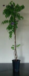Wisteria floribunda blau -Japanischer Blauregen