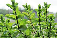 300 Samen Pfefferminze Minze mentha piperita gut riechendes Tee- und Heilkraut