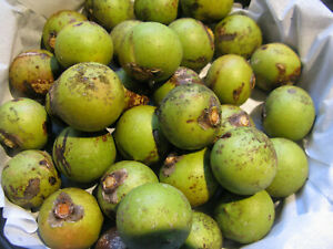 10 fresh, clean (Acrocomia aculeata) palm nuts for Hyacinth Macaws