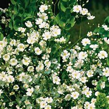 Gypsophila - Paniculata Single White - 1500 Seeds