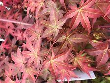 Japanese Maple Corallinum