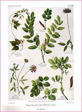 ▬► Planche botanique - Gaston Bonnier - Papilionacées, Glycyrrhiza Psoralea 1914