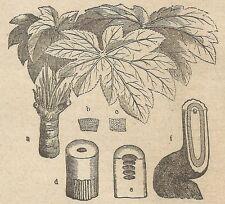 A4356 Aralia papyrifera - Incisione - Stampa Antica del 1887
