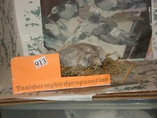 Taxidermy Pigeon on nest #913