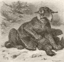 CARNIVORES. The European lynx 1893 old antique vintage print picture