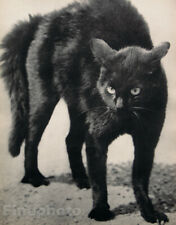 1931 Vintage MARTIN MUNKACSI Angry Black Cat Feline Witch Animal Photo Art 16X20