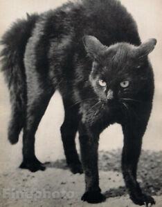 1931 Vintage MARTIN MUNKACSI Angry Black Cat Feline Witch Animal Photo Art 16X20