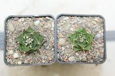 Obregonia denegrii x2 rare cacti kakteen strombocactus echinocactus uebelmannia
