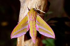 Livefood - Elephant Hawk Moth - D. elpenor - 3 x Breeding pupae - Livestock