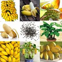 100 Zwerg Bananenbaum Samen Mini Bonsai Exotische Pflanzen-Obst