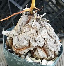 Dioscorea elephantipes Show Plant 89