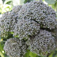 BROCCOLO DE CICCO 100 SEMI classico italiano produttivo cavolo cavoli broccoli