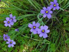 blue eyed grass, Stout Blue Eyed Grass, 85 seeds! GroCo