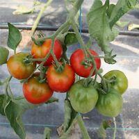 20 Graines /seeds de tomate stupice Bio