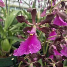 Near Blooming Size Encyclia Cordigera X Cor. Dark Chocolate Orchid Fragrant