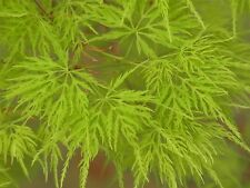 Japanese Maple 'Emerald Lace' Tree, Acer Palmatum 'Emerald Lace' In 9cm Pot