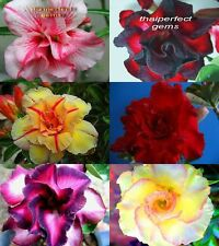 "NEW!! AMAZING ADENIUM ""Mixed 6 Type"" 6 GRAFTED PLANT FRESH!!"