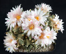 50 Korn ***  Ariocarpus furfuraceus, Kakteen, Kaktus, Astrophytum