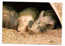 Sleeping Piglets - Pig Postcard