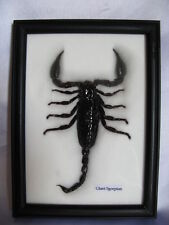 Scorpion - Giant Scorpion in  frame - real - taxidermy