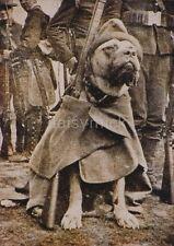 US Army World War 1 Dog Sergeant Stubby 1917 American 7x5 Inch Reprint Photo