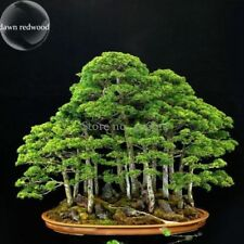 Bonsai Metasequoia Dawn Redwood Evergreen Ornamental Plants 50 Seeds Home Garden
