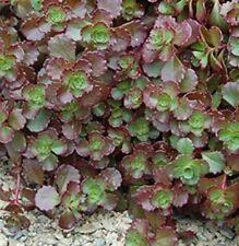CHOCOLATE BLOB Sedum spurium groundcover succulent plant in 140mm pot