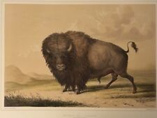 Buffalo Bull Grazing,by George Catlin, Original Lithograph,Limited Edition 1970