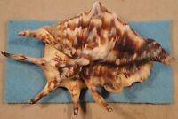 Lambis Lambis 136x94mm Linapacan Is Palawan,Philippines 10-15 meters Coral Reef
