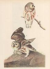 "JOHN JAMES AUDUBON 1937 Book Print ""SAW-WHET OWL"" Birds of America Painting"
